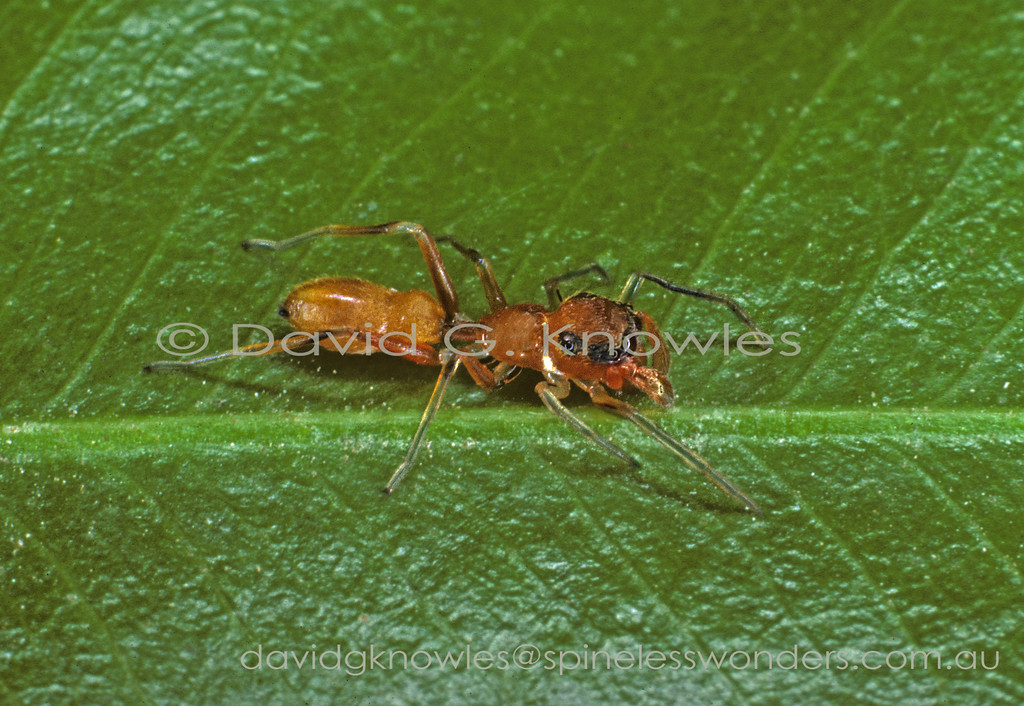 Weaver ants (Oecophylla smaragdina) are ubiquitous in South East Asian coastal areas where they are usually a rusty orange colour. In northern Australia and southern New Guinea they are green. These ants serve as a model for a number of ant mimicking jumping spiders as well as a few species from the crab spider Family