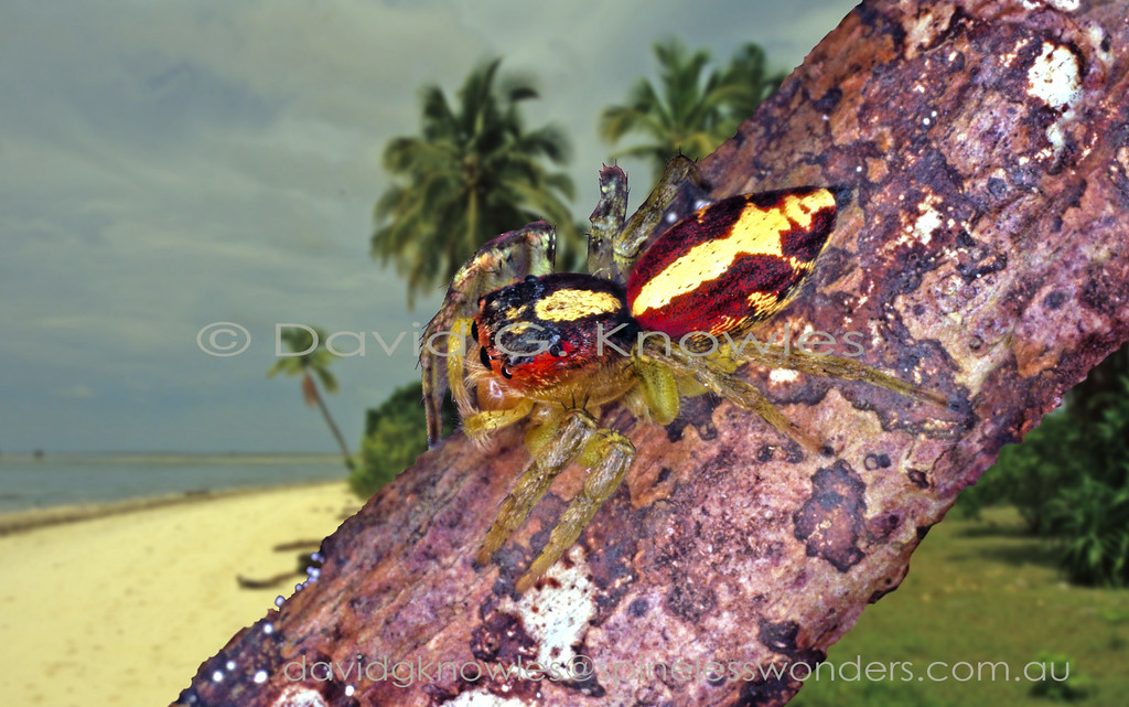 The small genus Cytaea extends from the Andaman Islands east through South East Asia and south east to the eastern Pacific Islands and northern Australia. Some of this regions most striking jumping spiders occur in the males of this genus. There are two main groups based on the presence of opal-like scales (setae) verses pigmented in yellows, browns and oranges