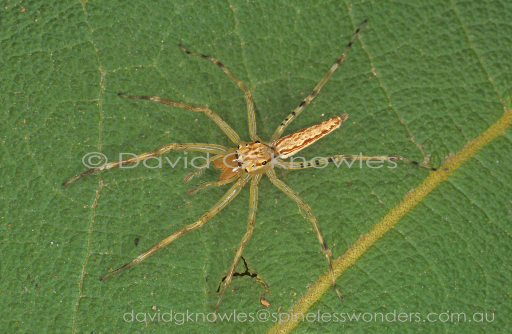 Cocalodes is a small genus of elegant slender jumping spiders occurring in the Molouccas and New Guinea where most known species occur