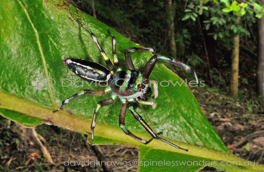 The medium-sized genus Cosmophasis extends from Africa discontinuously to South East Asia and south east to the eastern Pacific Islands and northern Australia. Some of the latter regions most striking jumping spiders occur in the males of this genus. There are two main groups based on the presence of abundant opal-like scales (setae) verses very much reduced. The least metallic species appear to occur in more arid areas as seen in northern Australia.Cosmophasis micarioides occurs in the Northern Territory and eastern Queensland. It then extends northwards into New Guinea and eastern Indonesia