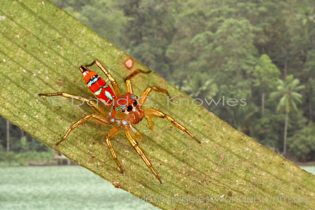 Research into the ecology on a related an Austropapuan species has revealed a startling form of mimicry. Arboreal weaver ants are a prominent part of the insect fauna that encompasses Cosmophasis' range. The weaver ant mimicry is purely chemical. Spiders have evolved to smell like the model and engage in the ant behaviour transacting the olfactory messages. All this is designed to gain entrance into the leaf nest and 'politely' raid the protein supply offered by the store of ant pupae and larvae