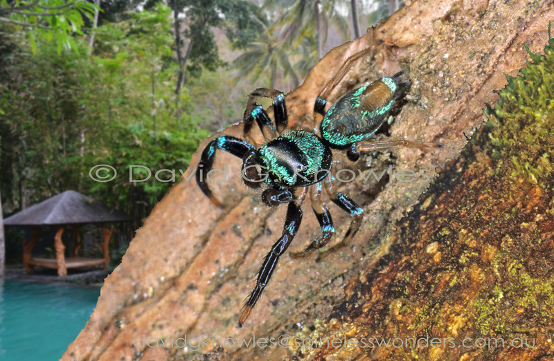 These colourful spiders quite happily coexist with high density concentrations of humans in cities and large towns where they live out their lives in gardens and parks. The pugnacious males therefore are often encountered by adults and children enacting their vigorous territorial and sexual behaviours. Small fortunes can be won and lost betting on these bouts