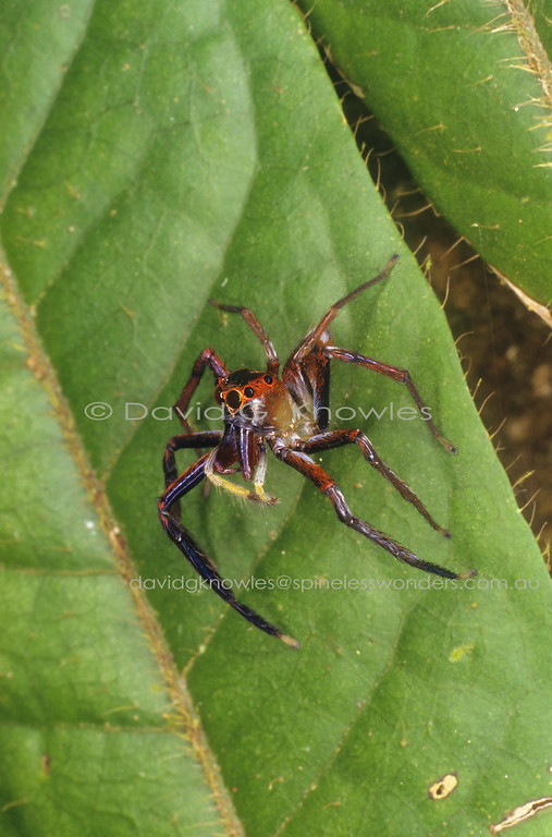 Many male jumping spiders employ contrasting and sometimes ornamented facial, jaw and palpal arrangements to impress potential mates. These features may also be included on the inner faces of the front legs. Choreograph this with appropriate dance moves and this fellow may have the good fortune of spreading his genes into part of the next generation