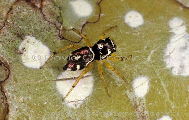 The Moluccas was a diversity hotspot for jumping spiders among many other arthropod groups I encountered in 1992, some of them photographed near where the young Alfred Russell Wallace probably encountered the very same 100 years before my birth
