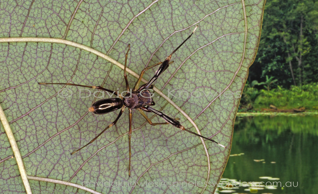 Ant mimicking spiders are confronted with three major challenges; 2 body parts verses 3; 8 legs verses 6; and grow by a series of moults verses larva metamorphosing into very different adult ant. To do this front pair of legs are used for antennae; third body segment created by counter-shading, third body segment created by constriction and/or swelling of abdomen;adopting ant-like behaviour. The most highly evolved mimics employ all three. The whole situation becomes more complex when both sexes mimic either different castes of the same model, or different model species