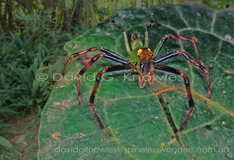 Surprisingly, this impressive and large (by jumping spider standards) Balinese jumping spider appears to have avoided being granted a common name by modern arachnologists. This omission is especially poignant in light of Bali's popularity as a tourist destination for Europeans
