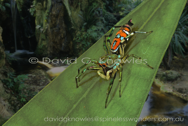 This Siler species appears to be undescribed, which is surprising, as it is one of the larger species, is strikingly coloured and marked, and it inhabits the tourist mecca that is the Indonesian island of Bali
