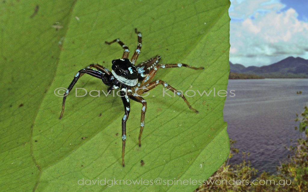 south east asian spiders salticidae jumping spiders male telamonia species tend to have brightly blotched legs the metallic setae often tinged