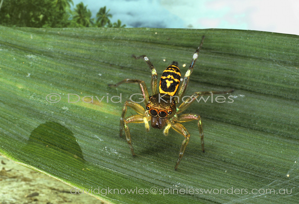 The medium-sized genus Cosmophasis extends from Africa discontinuously to South East Asia and south east to the eastern Pacific Islands and northern Australia. Some of the latter regions most striking jumping spiders occur in the males of this genus. There are two main groups based on the presence of abundant opal-like scales (setae) verses species in which they very much reduced in density and/or patchy in their distribution on the body. The least metallic species appear to occur in more arid areas as seen in tropical northern Australia