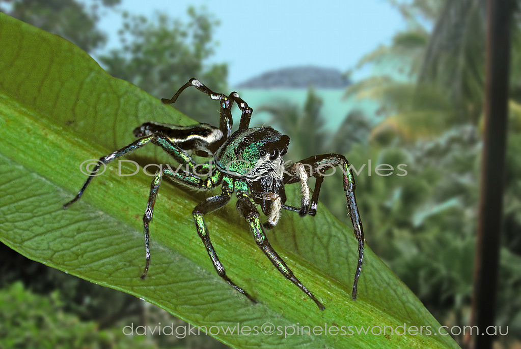 The medium-sized genus Cosmophasis extends from Africa discontinuously to South East Asia and south east to the eastern Pacific Islands and northern Australia. Some of the latter regions most striking jumping spiders occur in the males of this genus. There are two main groups based on the presence of abundant opal-like scales (setae) verses very much reduced. The least metallic species appear to occur in more arid areas as seen in northern Australia