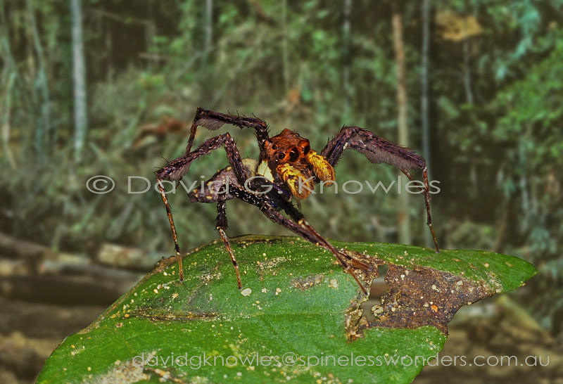 Spiders that specialise in hunting other spiders whether they be web bound or open range hunters, including those of their own Family, are fair game for the genus Portia. This requires planning, excellent camouflage and patience. Watching these masterful predators at work reminds me of a stalking cat