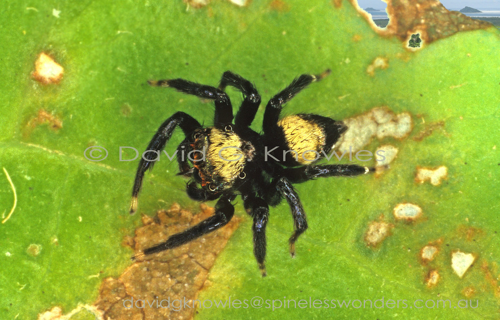 The males of this species are distinctive for two reasons; their simple contrasting pattern of yellow and black would normally indicate warning colours; the presence of closely paired stiff 'spines' forming a short 'sword' below the large anterior eyes. This structure appears to be unique in spiders and is used by males in 'face to face' combat