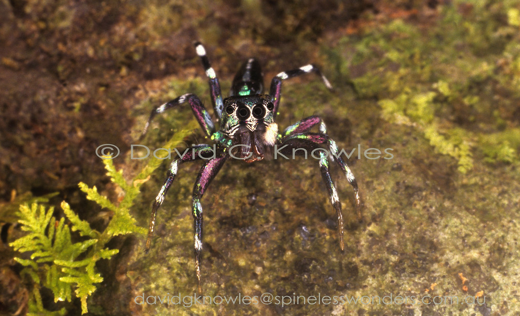 The medium-sized genus Cosmophasis extends from Africa discontinuously to South East Asia and south east to the eastern Pacific Islands and northern Australia. Some of the latter regions most striking jumping spiders occur in the males of this genus. There are two main groups based on the presence of abundant opal-like scales (setae) verses very much reduced. The least metallic species appear to occur in more arid areas as seen in northern Australia. Cosmophasis micarioides occurs in the Northern Territory and eastern Queensland. It then extends northwards into New Guinea and eastern Indonesia
