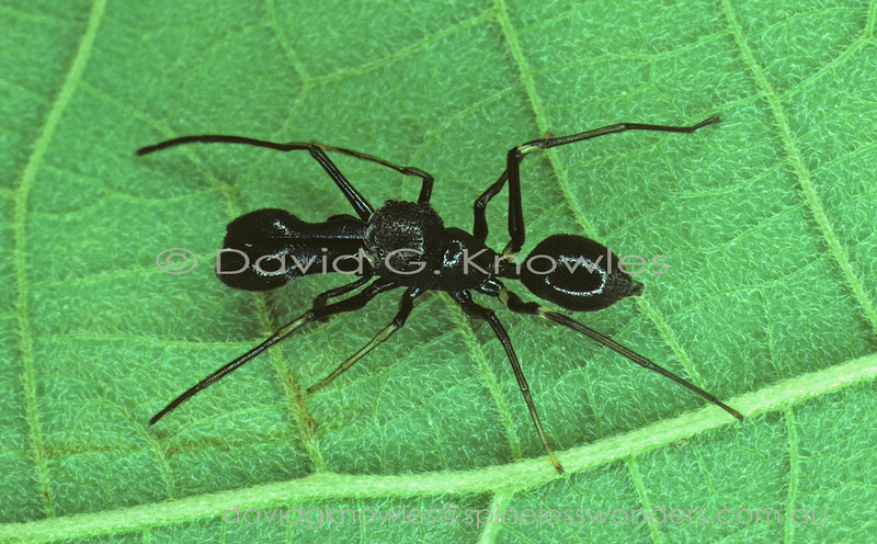 Ant mimicking spiders are confronted with three major challenges; 2 body parts verses 3; 8 legs verses 6; and grow by a series of moults verses larva metamorphosing into very different adult ant. To do this front pair of legs are used for antennae; third body segment created by counter-shading, third body segment created by constriction and/or swelling of abdomen;adopting ant-like behaviour. The most highly evolved mimics employ all three. In this species the adult sexes mimic different castes or species of ants. The remarkable male has achieved the third 'head' by expanding the tips of the massive jaw bases