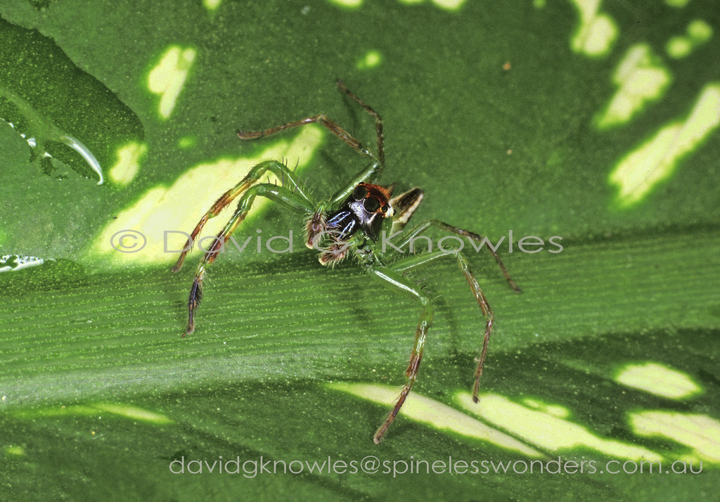 Everything about the genus Epeus is elongated from the legs to the abdomen and even the transverse head crest in adult males