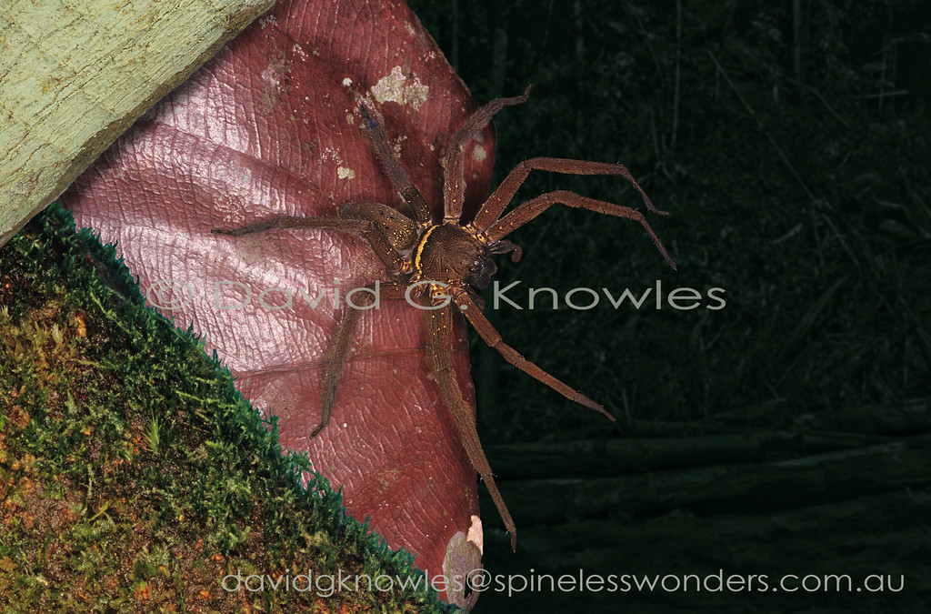This is one of the most well known large spiders of southern and South East Asia extending as far east as New Guinea and north-eastern Australia. It appears quite happy living among high densities of humans as well as in jungle. The markings may be variable on a subregional basis and tend to be brighter in the male