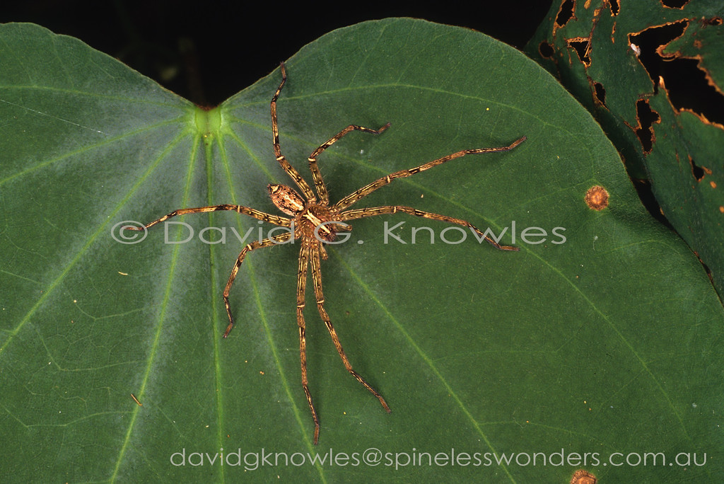 This is one of the most well known large spiders of southern and South East Asia. It appears quite happy living among high densities of humans as well as in jungle. The markings may be variable on a subregional basis and tend to be brighter in the male
