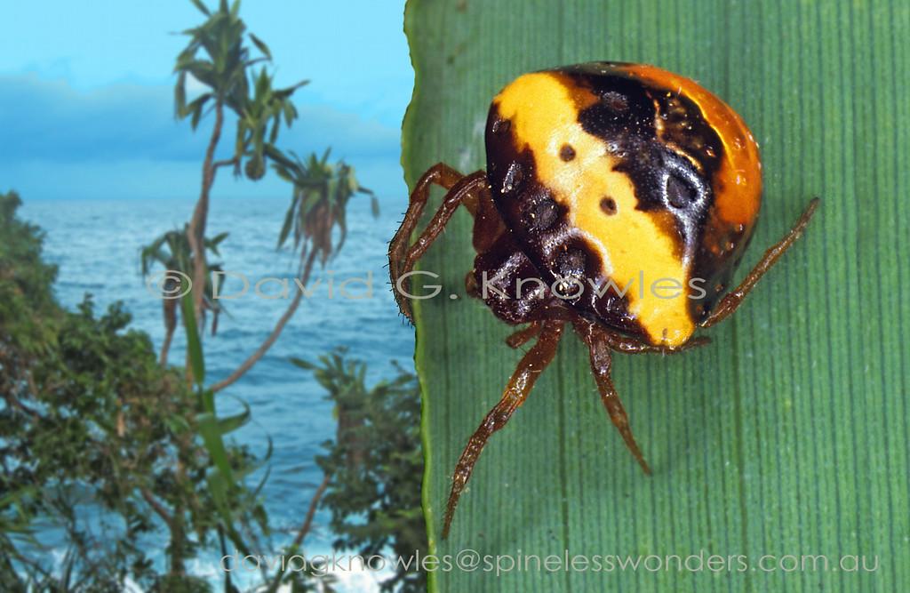 Cyrtarachne  tricolor TBC Female Horale Ceram Island Indonesia  BL 10.0mm 2