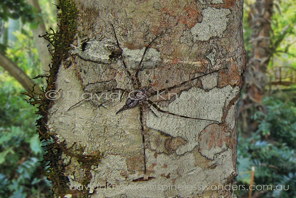 Two-tailed Spiders have given up web building for a hunter's lifestyle. They employ a novel prey capture method using their elongated posterior spinnerets to dab silk on the bark surrounding the prey whilst rapidly encircling it creating a pinning net - basically a simple orb web glued to bark at high speed. The spider will then feed immediately rather than wait as other web builders would tend to do