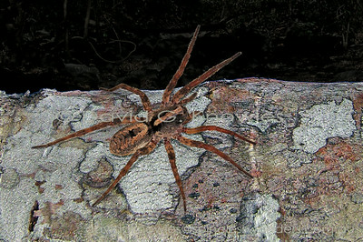 South East Asian Spiders Lycosidae (Wolf Spiders)