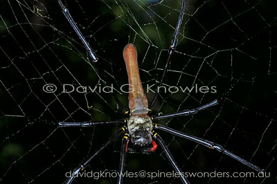 South East Asian Spiders Nephilidae (Golden Orbweavers)