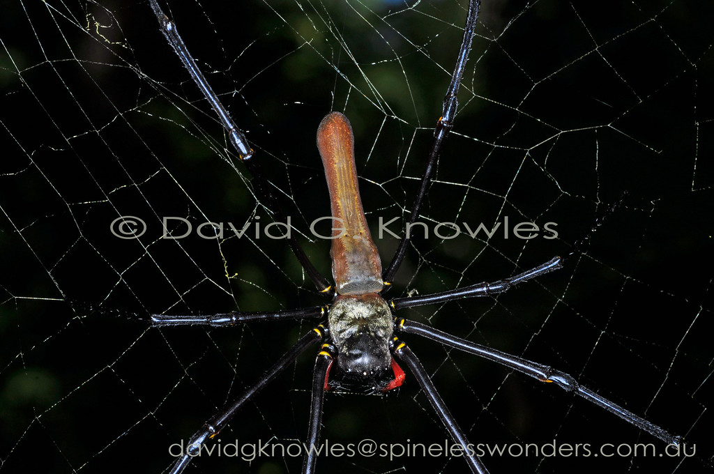 This golden orbweaver is widespread extending from Japan and the adjacent Asian mainland through the South East Asian islands to northern Australia. Like all of this genus the silk has a golden tinge and is extremely strong, enough to snare a small bird. The males are tiny and look totally different to the females. Scavenging pirate spiders are often present in the female's webs