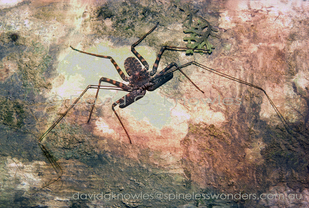 At least five groups of arachnids have ceased using the front pair of legs for walking. The ant mimicking spiders use them to mimic insect antennae and tail-less whip scorpions have used them in exactly the same way as insects. In both cases insects and whip spiders (alternative common name) use 'antennae' to sense their surroundings either by smelling or touching and usually both. The palps or pedipalps, unlike spiders where they are sensory and/or reproductive, are modified to capture prey. Like scorpions mothers carry the new born young on their backs