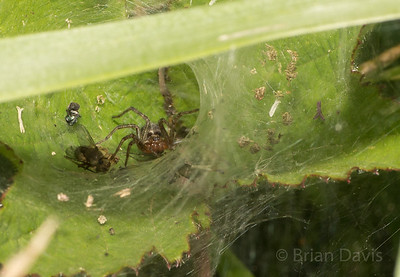 Labyrinth Spider in Web
