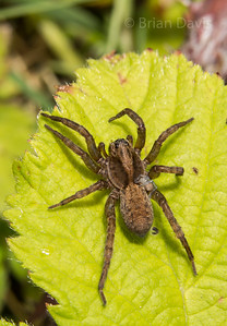 Wolf Spider with a baby on its back.