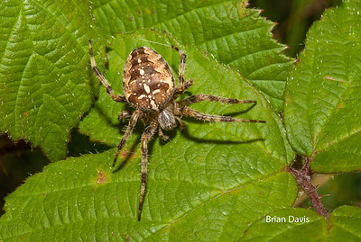 Garden (cross) Spider 3