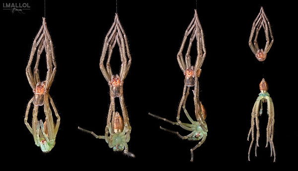 Spider molting sequences