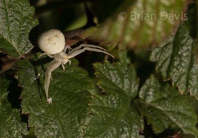 Crab Spider 6