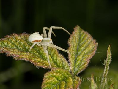 Crab spider 5