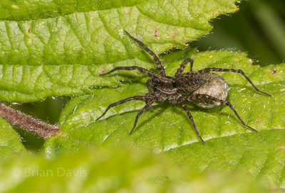 Wolf Spider and Baby sack