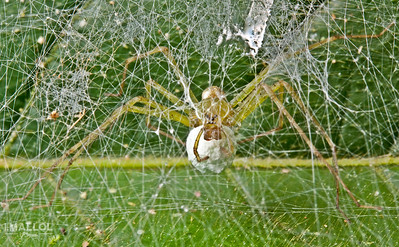 Lynx spider in a silk fortress does guard duty of the egg sac (Peucetia sp.)
