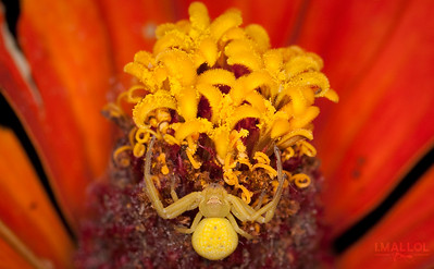Yellow ambush crab spider