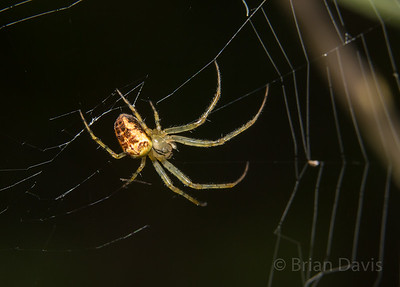 Orb Weaver, Metellina sp