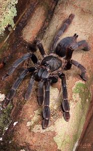 Tree Tarantula (Tapinauchenius subcaeruleus?)