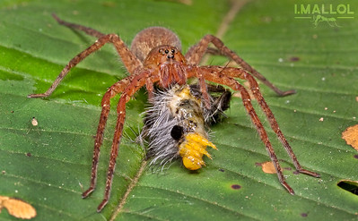 Spider eating caterpillar (Fam. Ctenidae)