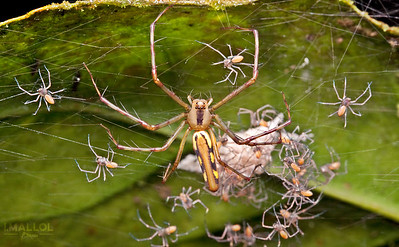Newborn spiders in the nest protected by their mother