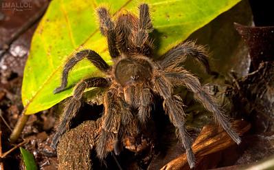 Tarantula glance