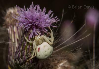 Crab Spider 4