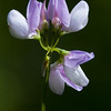 Crown vetch, Coronilla varia  Linnaeus
