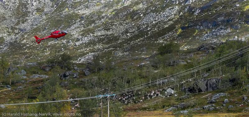 Helikopter samler reinen og driver flokken inn i reingjerde. Må kreve en svært erfaren pilot. Svenske reindriftsamer samler og slakter rein i Norddalen i Skjomen 2. og 3. september 2016.