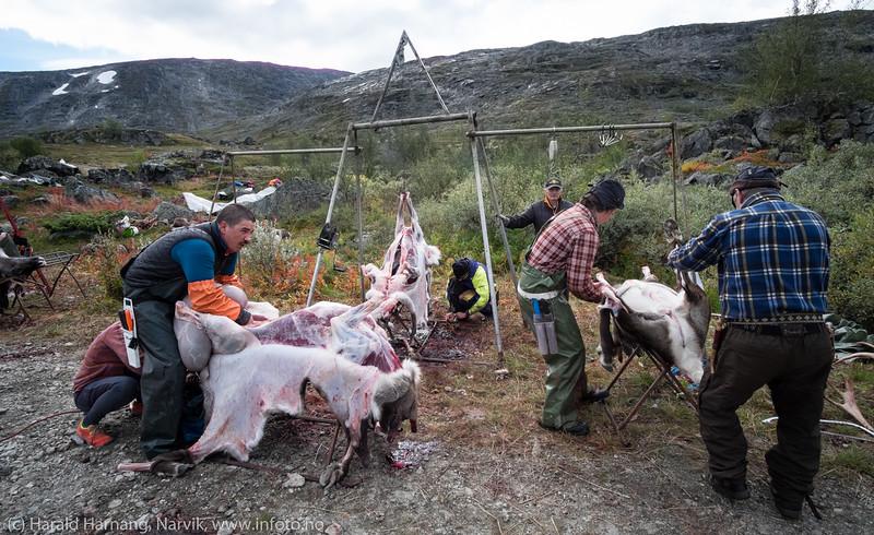 Alle bidrar, og alle kjenner sine roller. Svenske reindriftsamer samler og slakter rein i Norddalen i Skjomen 2. og 3. september 2016.