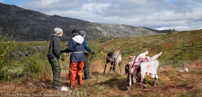 Sannhetens øyeblikk. Like før. Svenske reindriftsamer samler og slakter rein i Norddalen i Skjomen 2. og 3. september 2016.