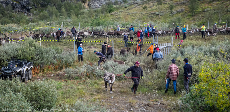 Noen få rein gikk rolig., De fleste kjempet mot. Svenske reindriftsamer samler og slakter rein i Norddalen i Skjomen 2. og 3. september 2016.