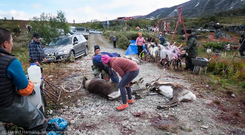 Så rask tapping av blod etter kniv i hjertet. Svenske reindriftsamer samler og slakter rein i Norddalen i Skjomen 2. og 3. september 2016.