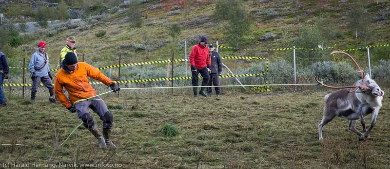 Noen flådde ved  rive og skyve skinnet av dyrene. Lang erfaring, sa han. Svenske reindriftsamer samler og slakter rein i Norddalen i Skjomen 2. og 3. september 2016.