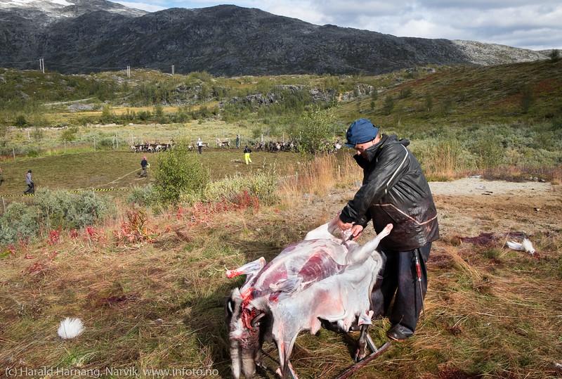 Det begynner å minske i reingjerdet. Svenske reindriftsamer samler og slakter rein i Norddalen i Skjomen 2. og 3. september 2016.
